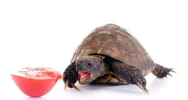 ¿Cuánto come una tortuga?