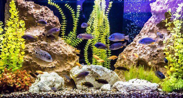 ¿Cómo afecta el punto blanco a los peces?