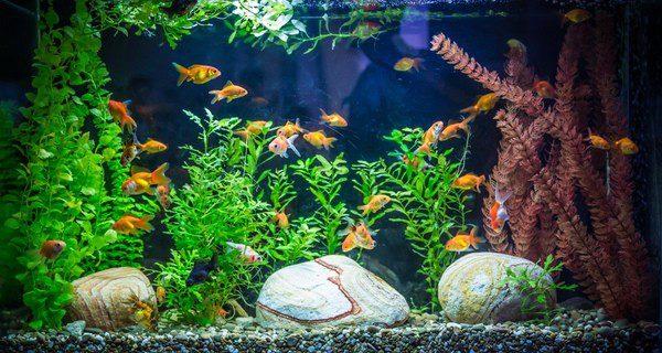 No introducir en un mismo acuario demasiados peces