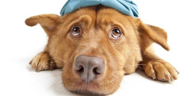 ¿Cómo curar a tu perro y cómo prevenirlo?