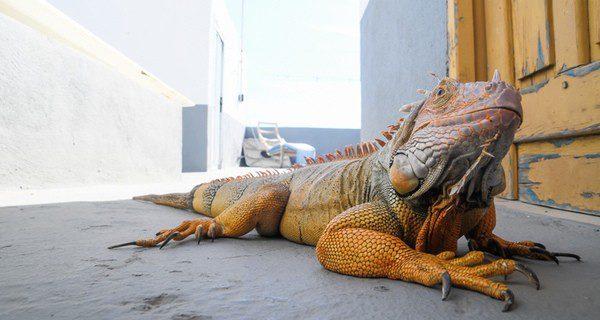 La delicada alimentación de la iguana