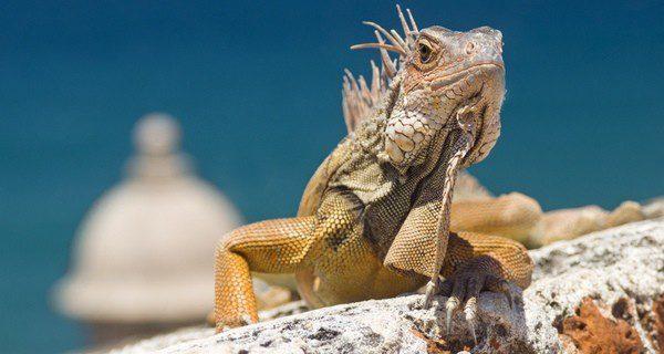 La iguana no procesa correctamente la carne