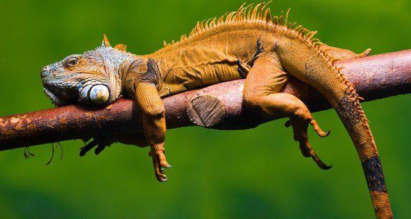 La dieta de la iguana: fruta y verdura