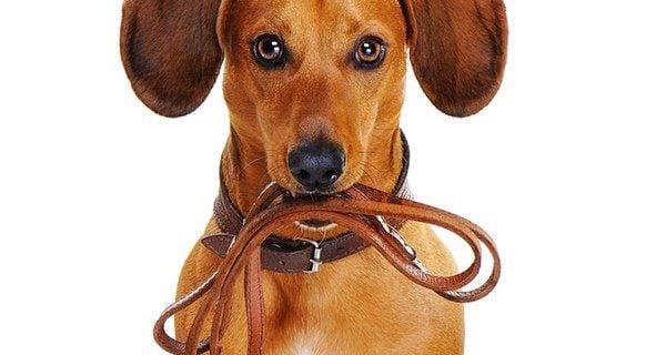Una buena correa garantizará que tu perro disfrute de los paseos