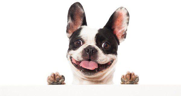 Los Bulldog Francés son perros muy activos e inquietos
