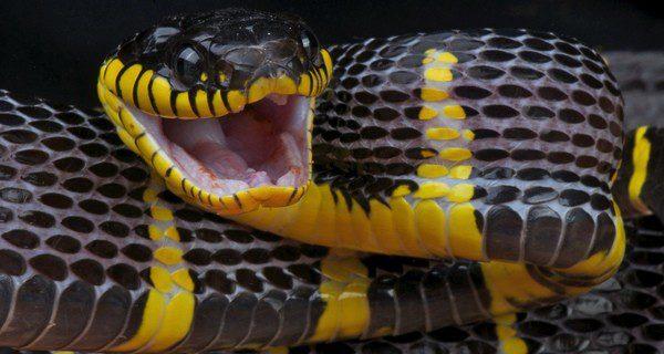 No tengas en casa a las especies de serpientes más peligrosas