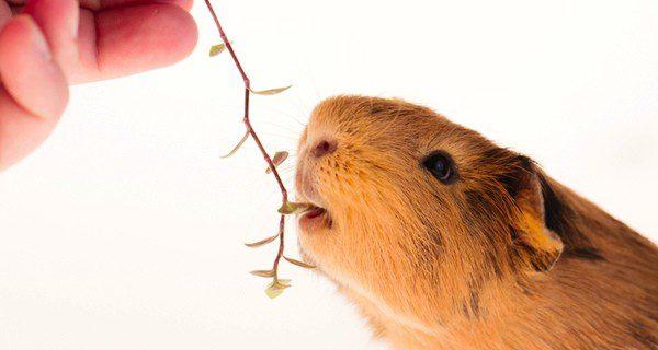 El conejillo de indias es un animal herbívoro que se alimenta de alfalfa