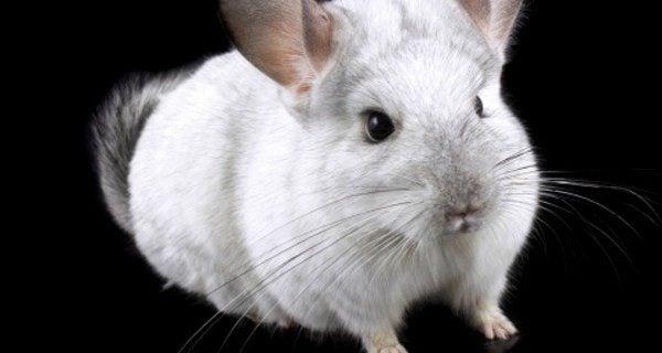 La chinchilla es un roedor que requiere de escasos cuidados
