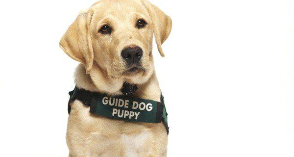 Los perros guía dedican su vida al cuidado de discapacitados