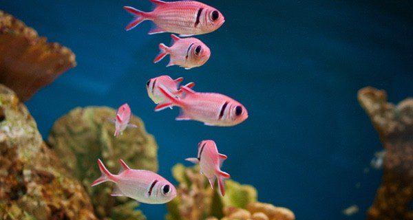 La Oodinium pillularis puede infectar a los demás peces con facilidad