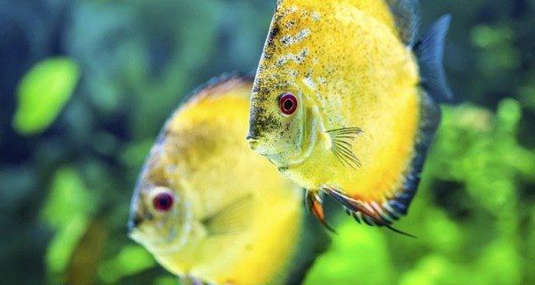 Es imprescindible sifonear el fondo del acuario dos o tres veces al año
