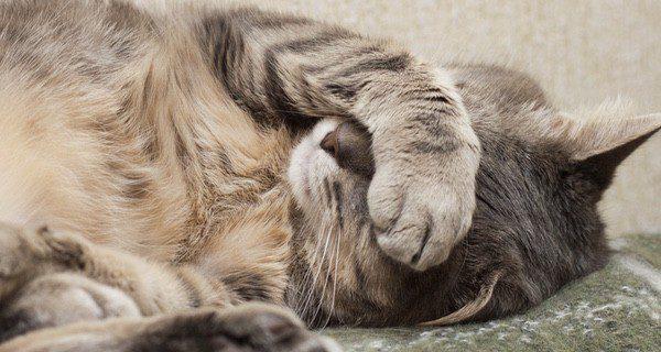 El gato estará decaído, sin energía y dormirá más de lo normal