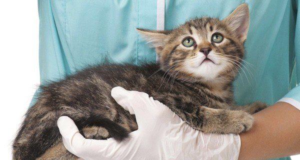 Es importante llevar al gato al veterinario en cuanto se identifiquen los síntomas