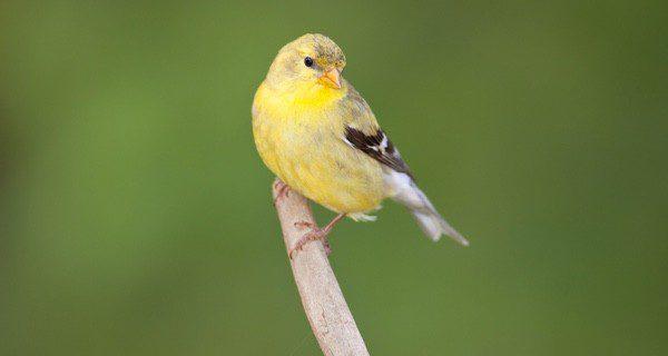 El canario es un clásico en las mascotas para mayores
