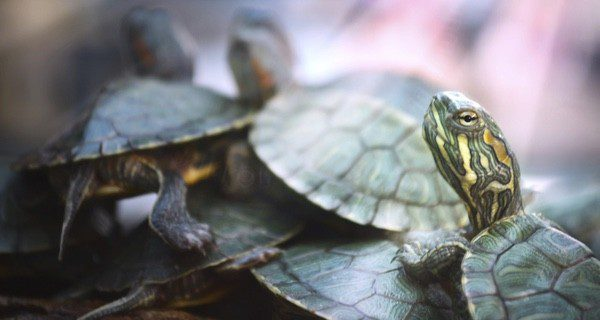 Recuerda que la tortuga necesita 3 horas diarias de sol directo