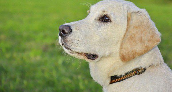 El Labrador es uno de los perros más inteligentes