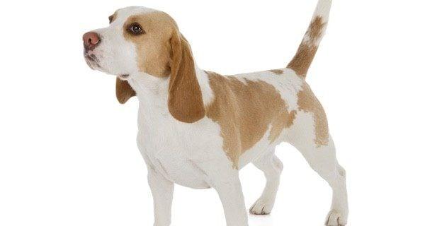 Aunque existen Beagles de color marrón y blanco, la raza pura tiene además de estos el color negro