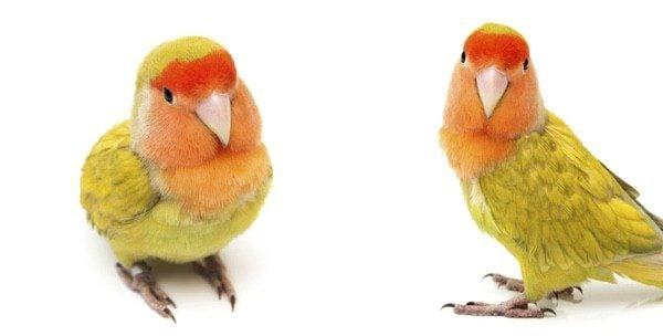 Los agapornis son unos pájaros muy coloridos