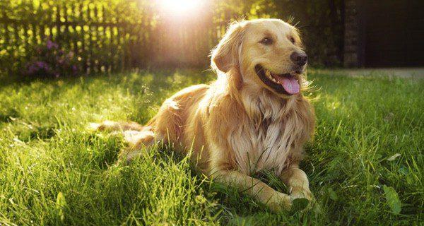 La raza de perro Golden Retriever