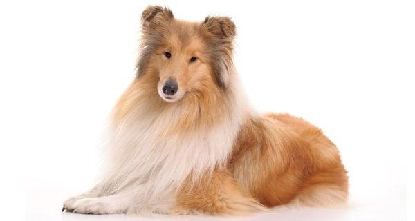 El collie es un perro obediente, leal y hermoso