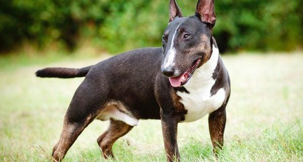 Los Bull Terrier tienen un aspecto físico muy diferente al resto de animales