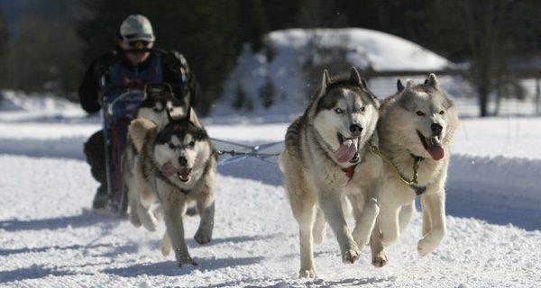 Esta raza de perro ayudaba a las personas a transportarse sobre la nieve en trineo