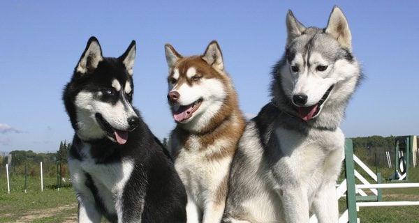 Suelen ser tricolor, blanco, negro y gris, aunque existen algunos blancos con las manchas de color canela