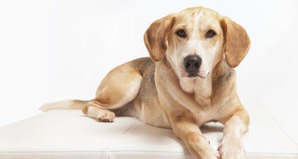 El Foxhound Americano es un perro un perro de cacería de tamaño medio