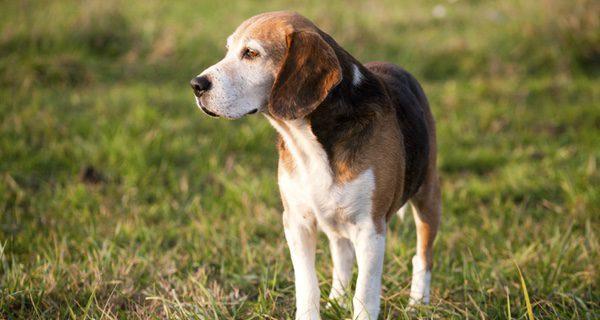 Los Foxhound tienen una esperanza de vida entre 11 y 13 años