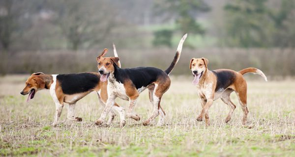 Foxhound un perro más activo que un Beagle