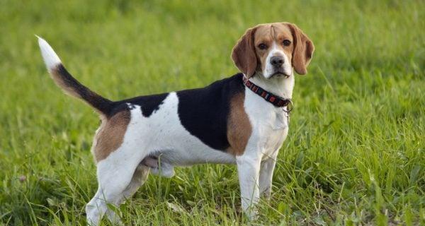 Foxhound inglés más robusto y grande que el Beagle