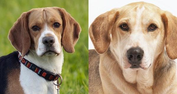 Diferencias entre un Foxhound inglés y un Foxhound americano
