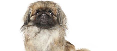 El perro pekinés es originario de las montañas del Tíbet
