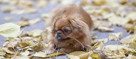 Es un perro aconsejable para hacer compañía a las personas mayores
