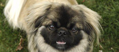 Este perro tiene muchos problemas nasales, por ello acude al veterinario con frecuencia