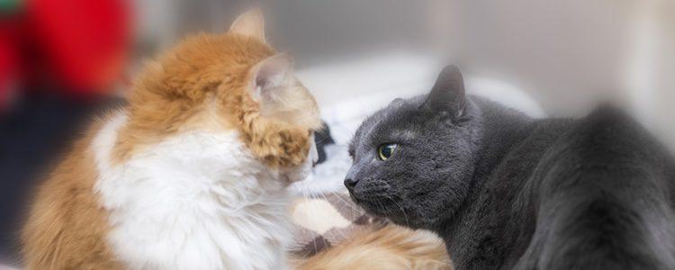 Las feromonas se emplean para comunicarse con otros felinos