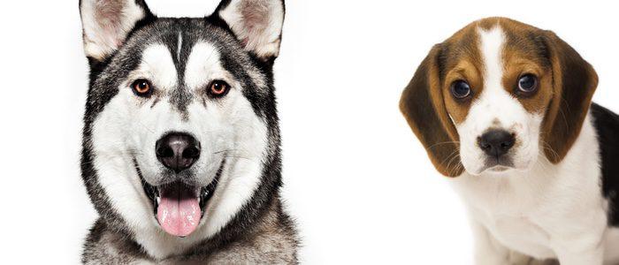 Husky y Beagle