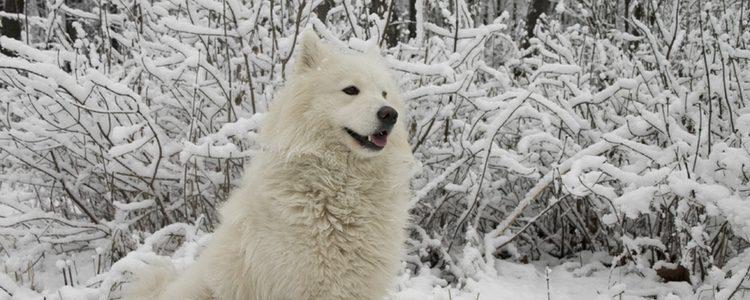 Los Samoyedos son perros de nieve