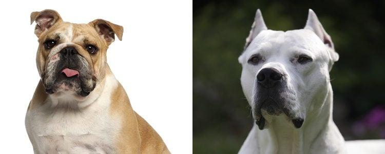 Bulldog y Dogo argentino