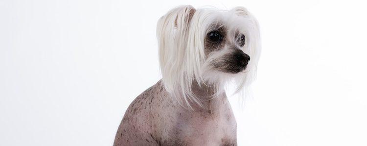 Un perro pequeño y de poco pelaje es su característica principal