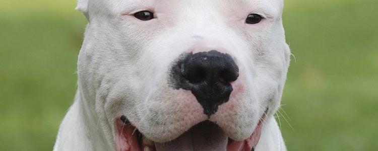 Dogo Argentino mascota con un gran tamaño que presenta unas grandes características