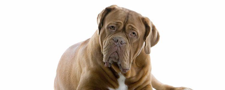 El mastín inglés es un perro muy bonachón