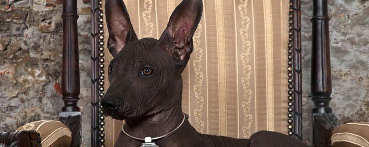 El Xoloitzcuintli es una raza desconocida pero muy dócil y fácil de educar