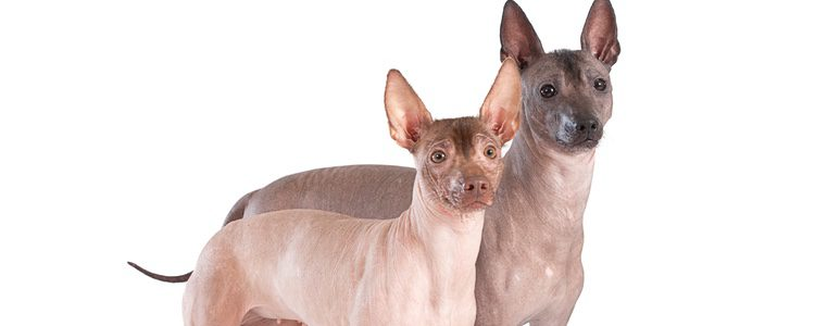 Pueden ser distintos entre sí por sus diferentes tamaño y por el pelaje