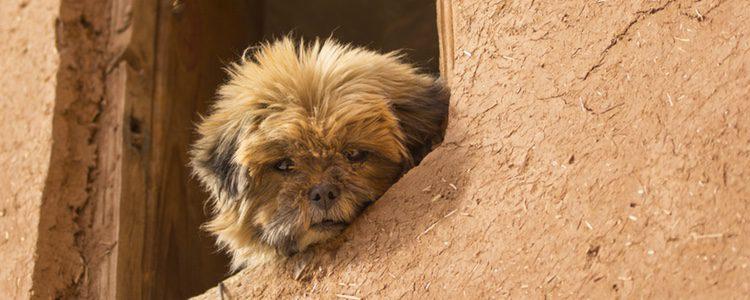 Es un perro de pequeño tamaño perfecto para vivir en un piso