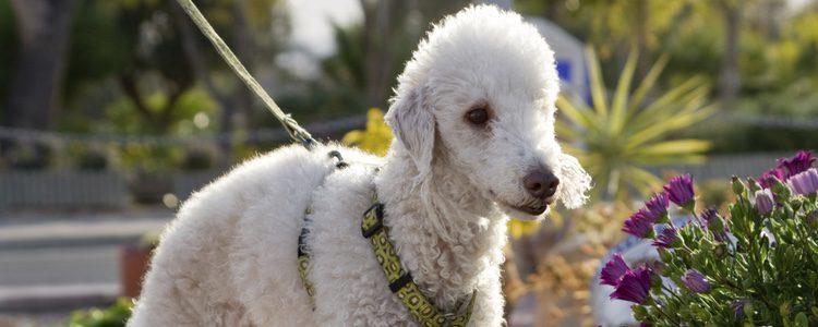 El bedlington es un perro con mucho carácter