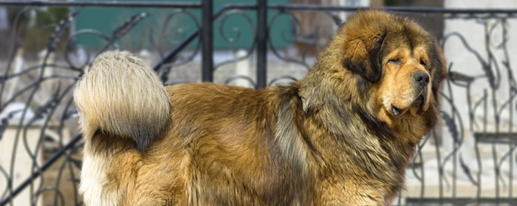 El Mastín leonés necesita vivir en un piso grande o una casa