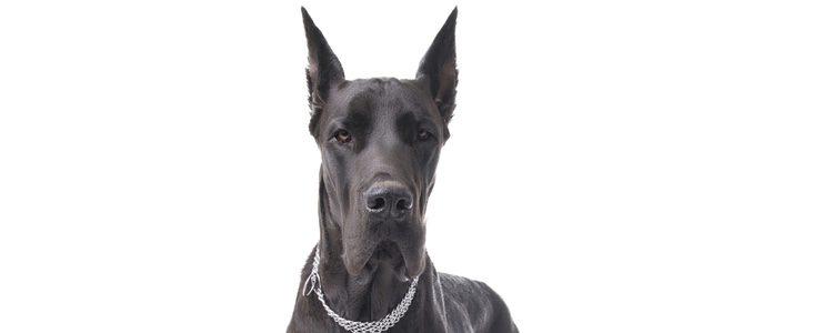 El Gran Danés es un perro dócil y afable