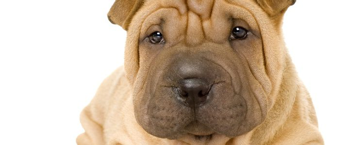 Es un can que necesita tres paseos al día para disfrutar y hacer ejercicio