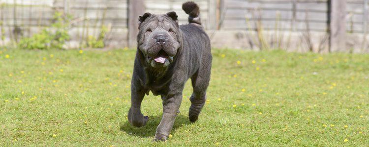 El Shar Pei es un perro que cuenta con enfermedades dérmicas